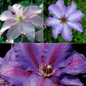 Garden Glory Clematis Collection