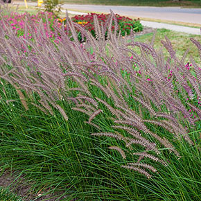 Rose Fountain Grass