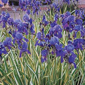 Pallida Silver Bearded Iris