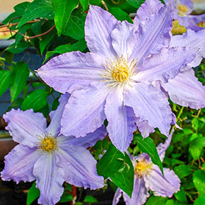 Clematis Sea Breeze Vancouver™