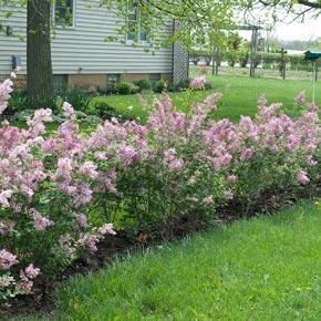 Buy Josee Reblooming Lilac Hedge At Spring Hill Nursery