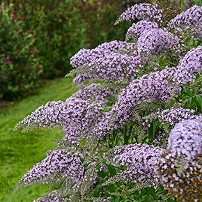 Grand Cascade Butterfly Bush