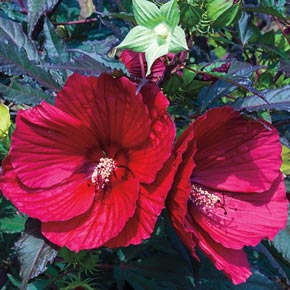 Midnight Marvel Hardy Hibiscus