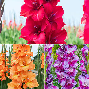 Summer Fun Gladiolus Mix