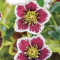 Romantic Getaway Lenten Rose