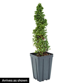 Primo<sup>®</sup> Arborvitae