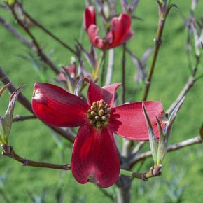 Raging Red Flowering Dogwood Tree