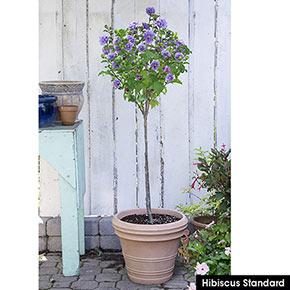 Hibiscus Blueberry Smoothie Spring Hill Nurseries