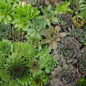 Hens and Chicks Collection