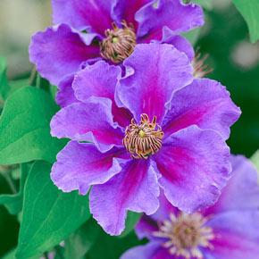 Ashva clematis spring hill nurseries mightylinksfo