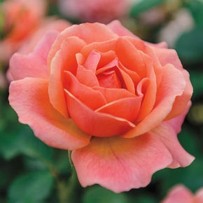Easy Does It<sup>™</sup> Floribunda Rose