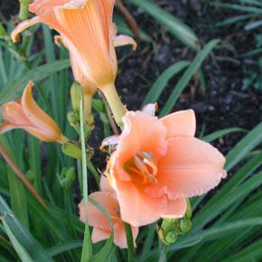 Apricot Sparkles Daylily