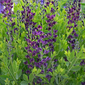 Grape Taffy Baptisia
