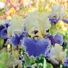 Silk Road Bearded Iris
