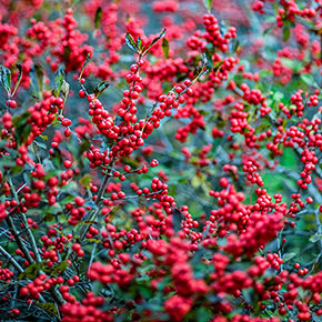 Winter Red Winterberry Shrub