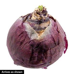 Top Hit Hyacinth