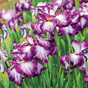 Lion King Japanese Iris