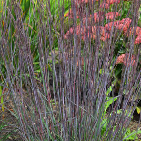Smoke Signal Bluestem