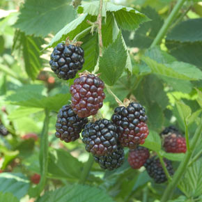 Black Berry Triple Crown