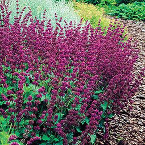 Purple Rain Salvia