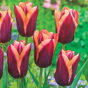 Slawa Tulip