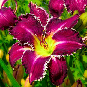 Snaggle Tooth Daylily