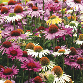 Hybridizer's Mix Coneflower