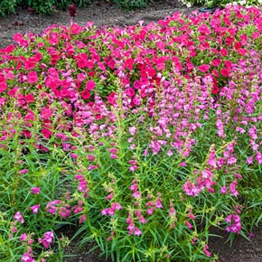 Sunburst Ruby Penstemon