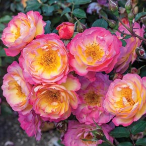 Rainbow Happy Trails™ Groundcover Rose