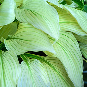 Buy Hosta Plants At Spring Hill Nurseries