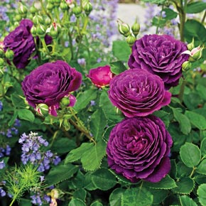 Buy Ebb Tide Rose At Spring Hill Nursery