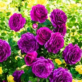Buy Ebb Tide Rose At Spring Hill Nursery