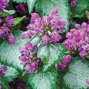 Purple Dragon Lamium