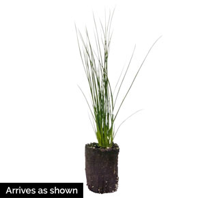 Blue Arrows Juncus
