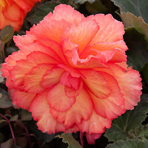 Illumination<sup>®</sup> Golden Picotee Begonia