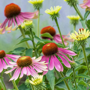 Buy Sun Perennials At Spring Hill Nurseries