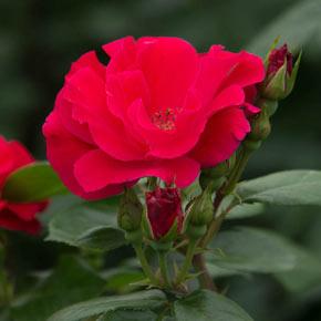 Freedom Rose Sampler