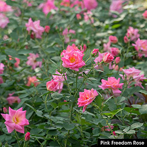 Freedom Roses