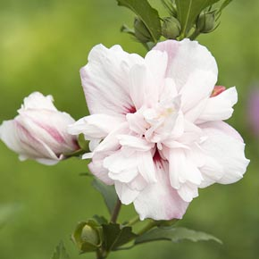 Strawberry Smoothie Hibiscus Shrubs Spring Hill Nurseries