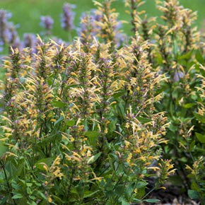 Kudos Gold Hummingbird Mint