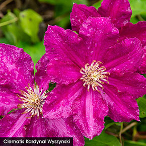 Hot Pink Clematis Trio