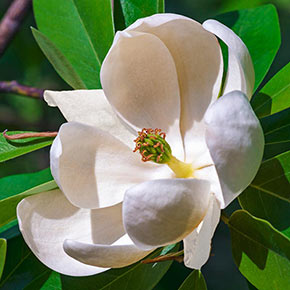 Sweetbay Magnolia Spring Hill Nurseries