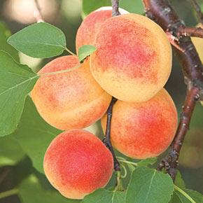 Sugar Pearls™ Apricot PP18639