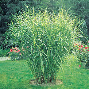 Ornamental grasses for sale at spring hill nurseries workwithnaturefo