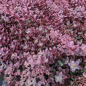 Sunsparkler Dazzleberry Sedum