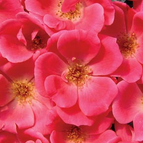 Knockout Pink Rose