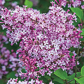 lilacs for sale at spring hill nurseries