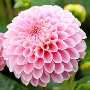 Jewel Pink Dahlia