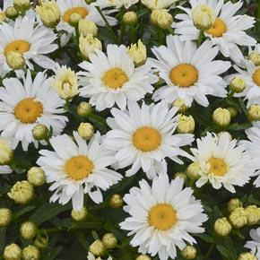 Cream Puff Leucanthemum