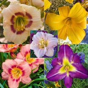 The Perfect Perennial Buy Daylilies At Spring Hill